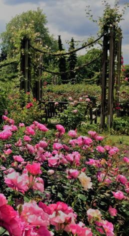 Roses in St Mary's Garden, Regent's Park. Janna Schreier