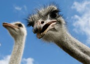 ostriches.jpg