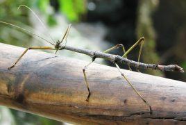 stick insect.jpg