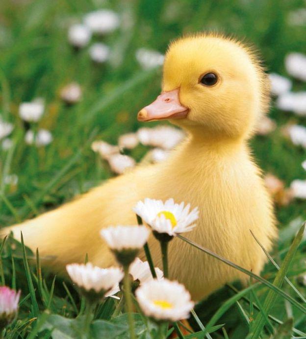 little duckie