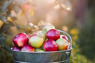 bucket full of ripe apples is in the garden grass in the rays of sunset